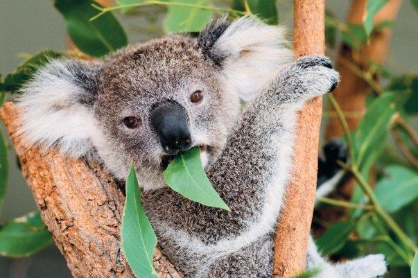 Eucalyptus-in-Australia