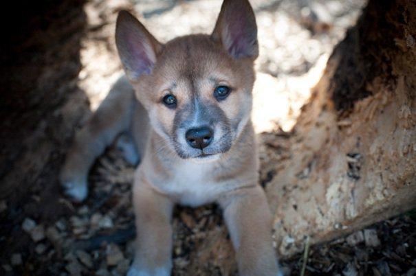 baby-dingo