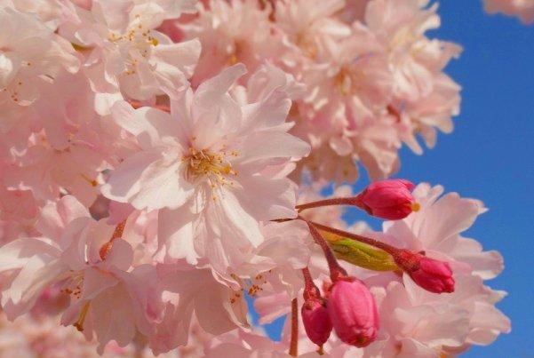 cvetet-sakura