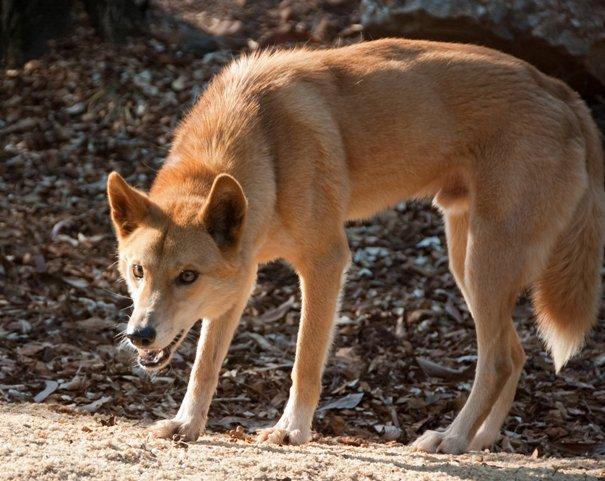 dingo -in-Australia
