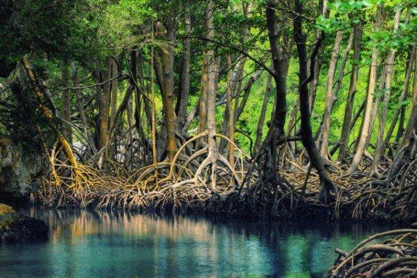 mangroves-in-Australia