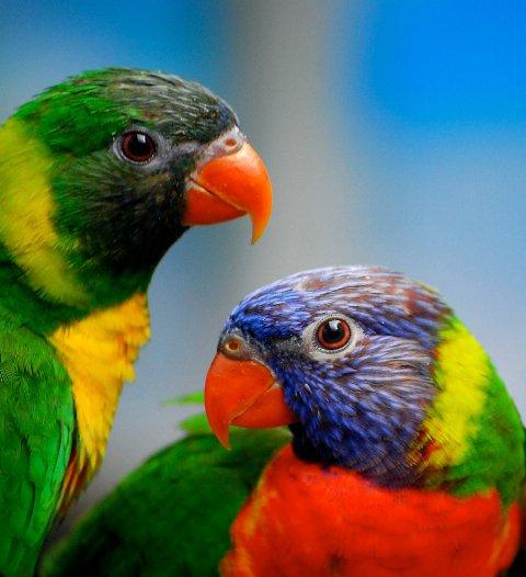parrots-of-Australia