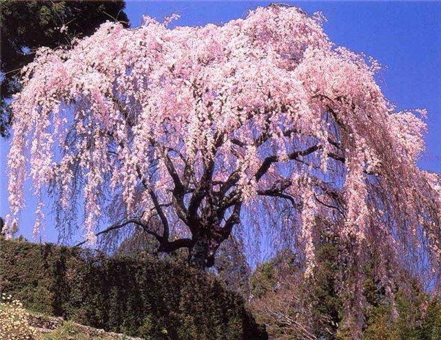 sakura-cvetet