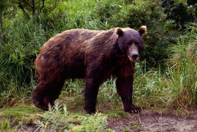 Buri medved